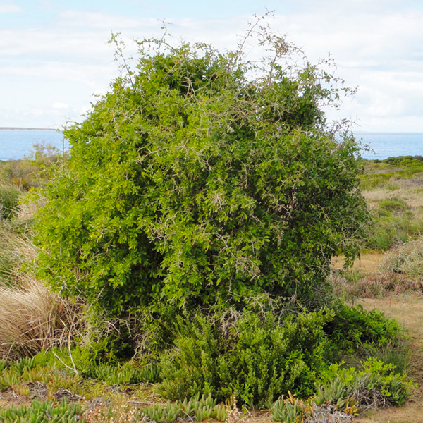 Synonyms and antonyms of boxthorn in the English dictionary of synonyms