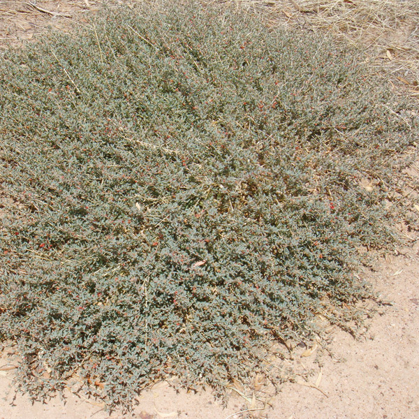Blanket Weed Lower Eyre Pest Amp Weed Management