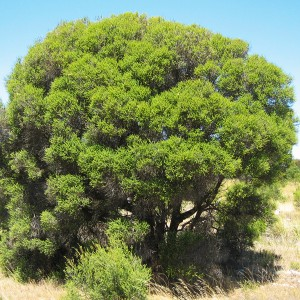 Dryland Tea-tree
