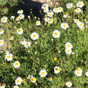 Marguerite Daisy Lower Eyre Pest Amp Weed Management
